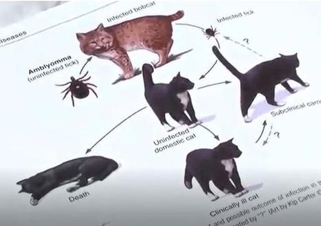 Bobcat fever making cats sick 07.24.18_1532453920737.PNG.jpg