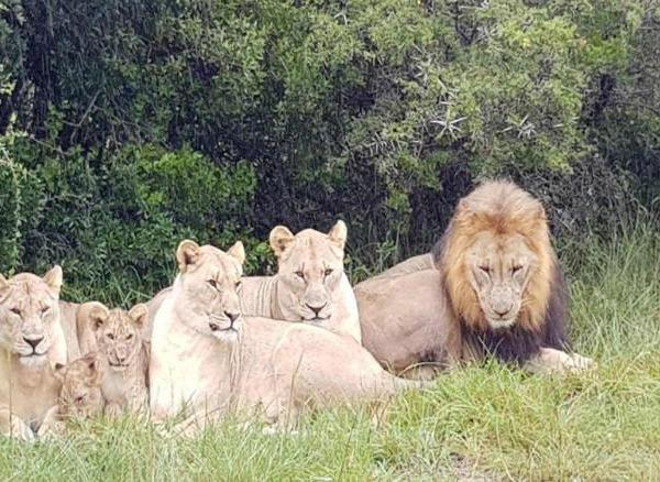 Lions kill poacher_1530891738389.jpg.jpg