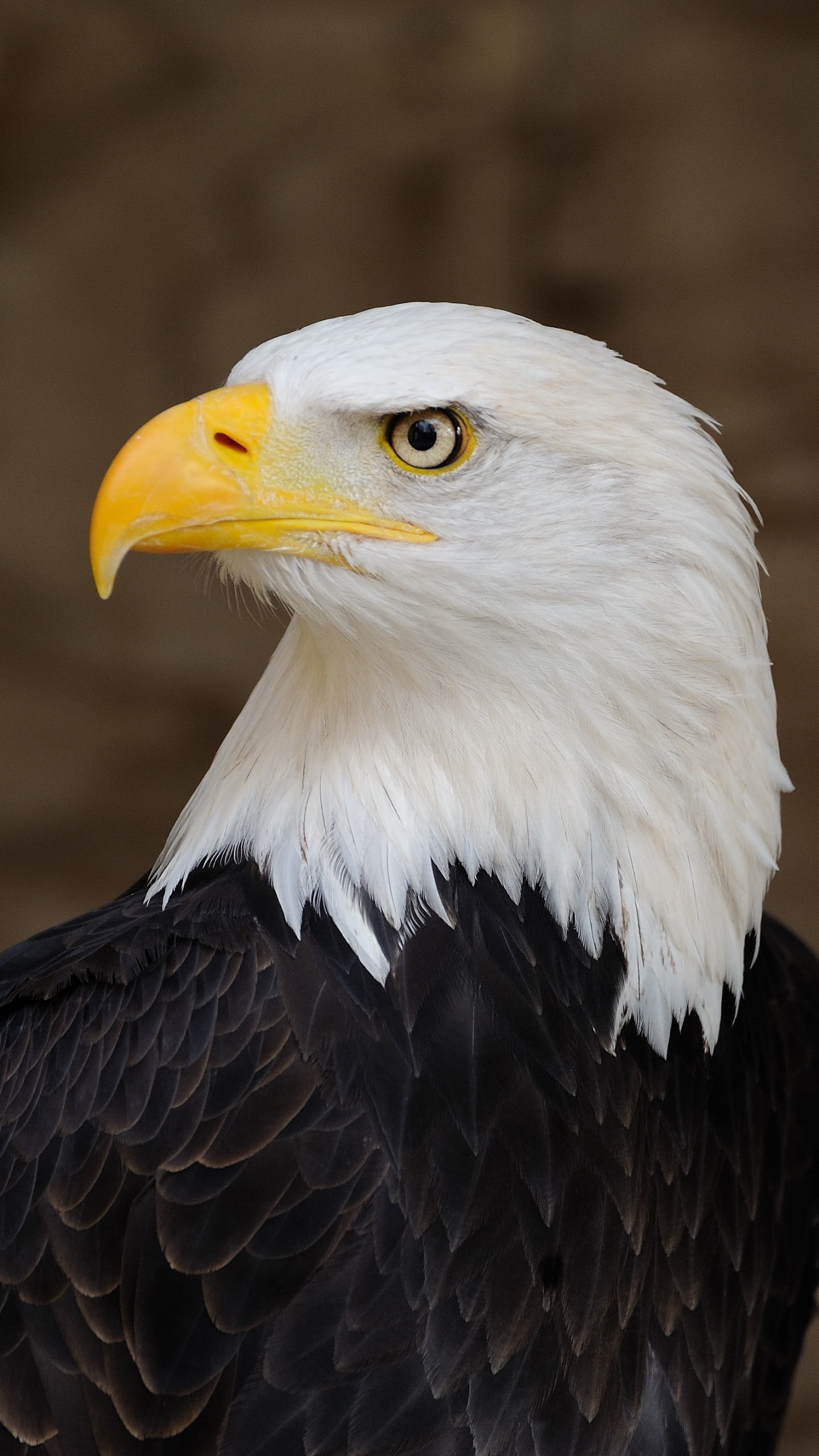 Bald_Eagle_Portrait_1533148477402.jpg