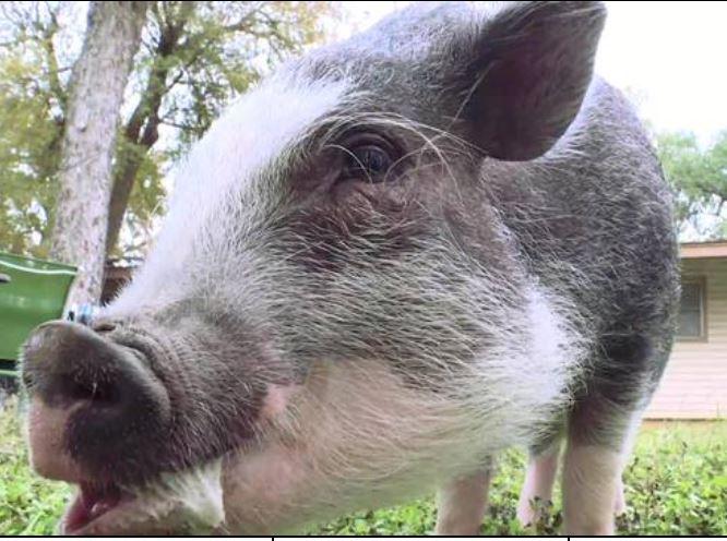 Pig 11-23-18_1543003082136.JPG.jpg
