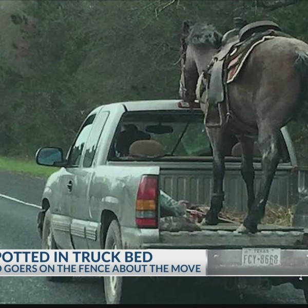 Horse in truck bed