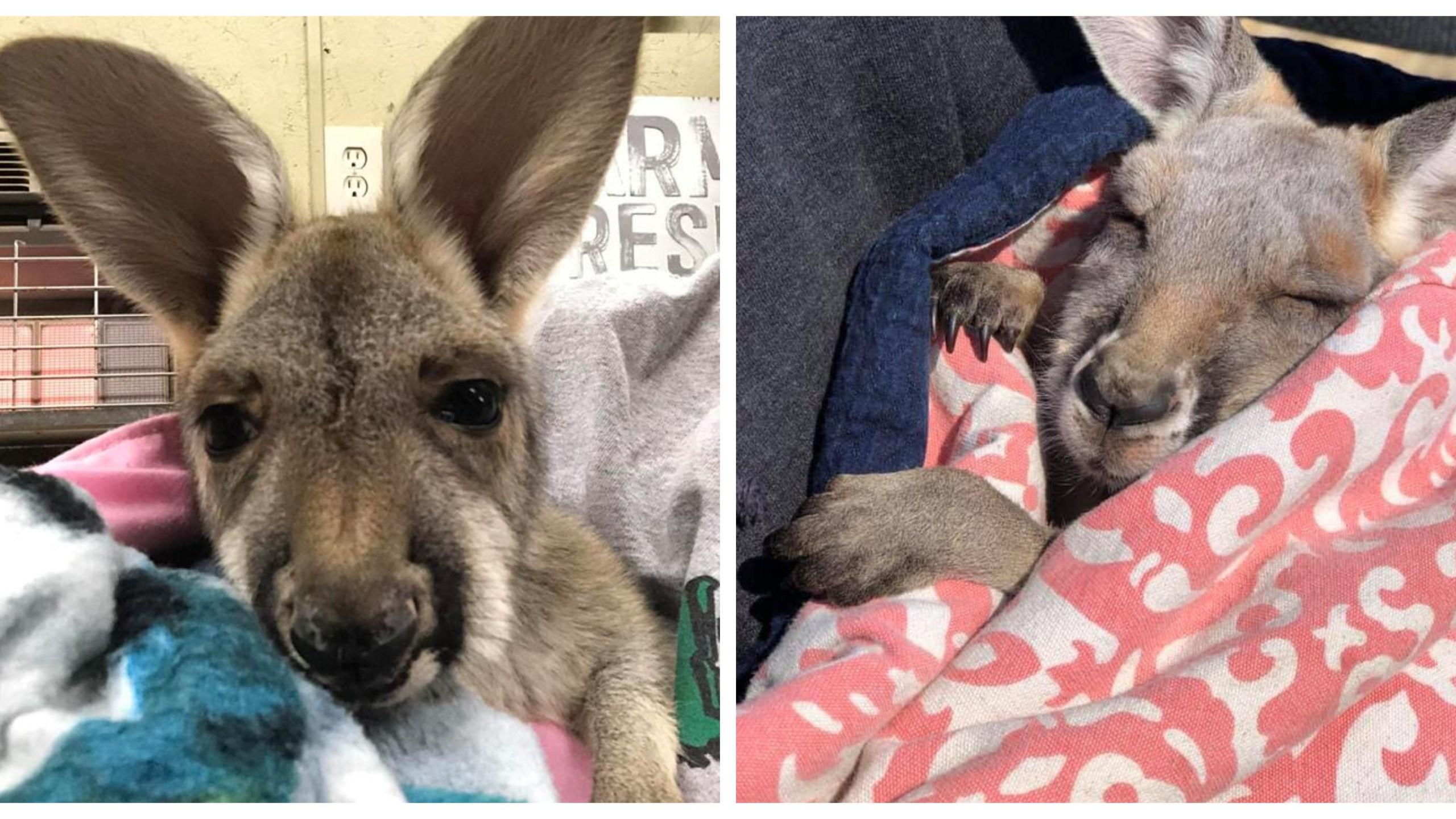 Baby kangaroo dies 04.29.19_1556573339641.jpg.jpg