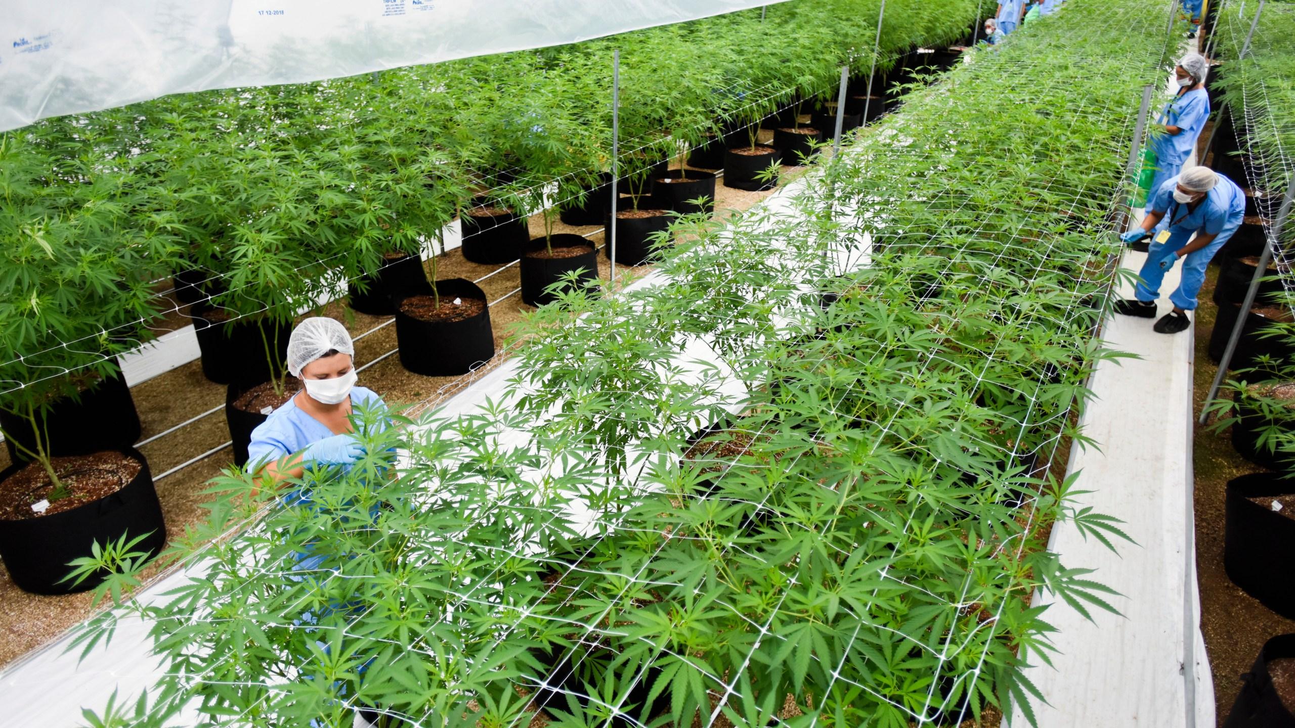 Uruguay_Latin_America_Europe_Medical_Marijuana_50267-159532.jpg56481063