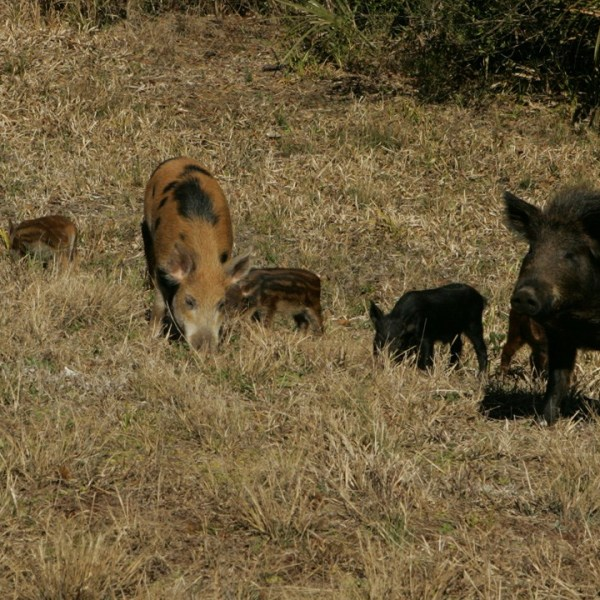 feral hogs us fish and wildlife service 1 1280x720_1559591050519.jpg.jpg